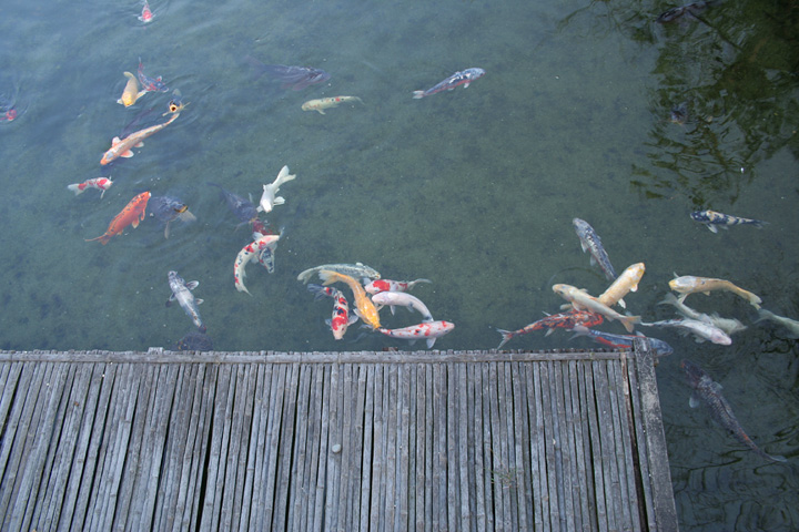 たくさんの鯉(白鳥庭園)