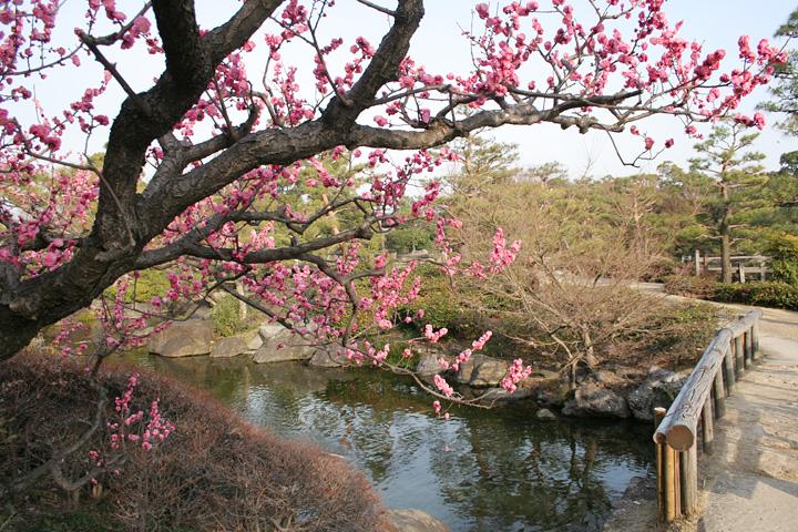 ピンクに色づく梅(白鳥庭園)