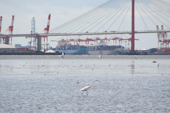 潮が引いて浅くなった干潟で魚をとる鳥たち