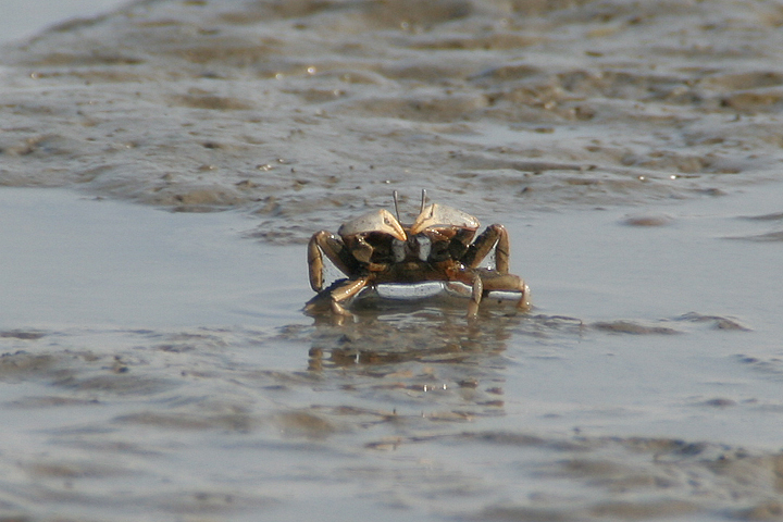 潮が引くとカニがひょっこりと姿をあらわす