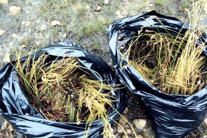 本来の植生にそぐわない外来種を除去(1996年)写真:柴田美子