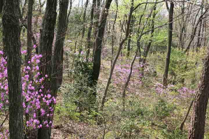 春:コバノミツバツツジ
