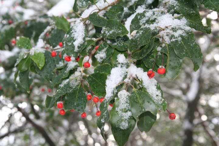 冬:ソヨゴ