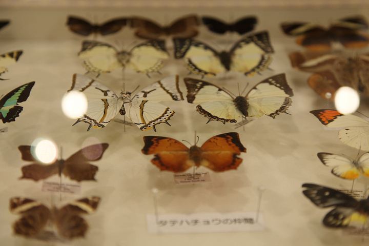 目を引く多様な蝶の標本展示
