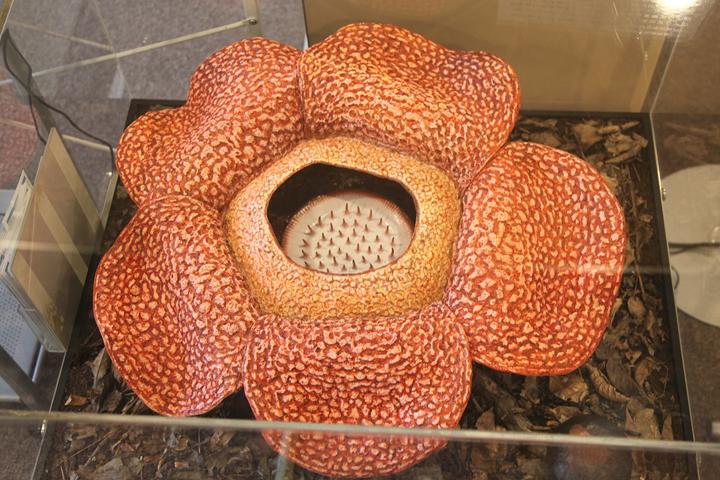 世界一大きな花をつける植物ラフレシア
