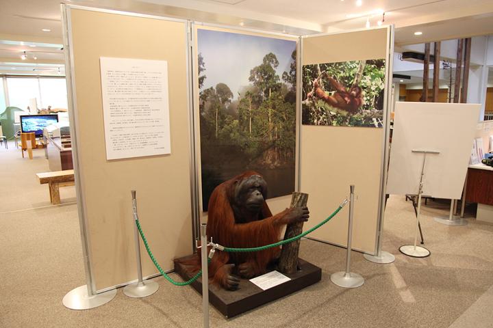 ボルネオ島の熱帯雨林に生息するボルネオオランウータン