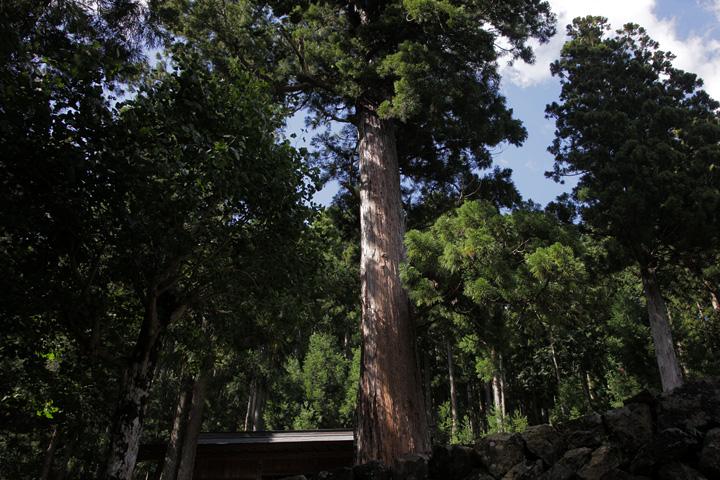 須佐之男神社の綾杉