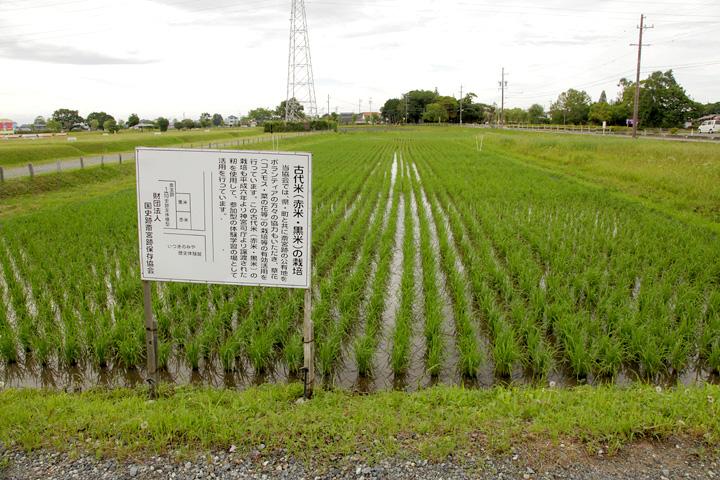 古代米の栽培