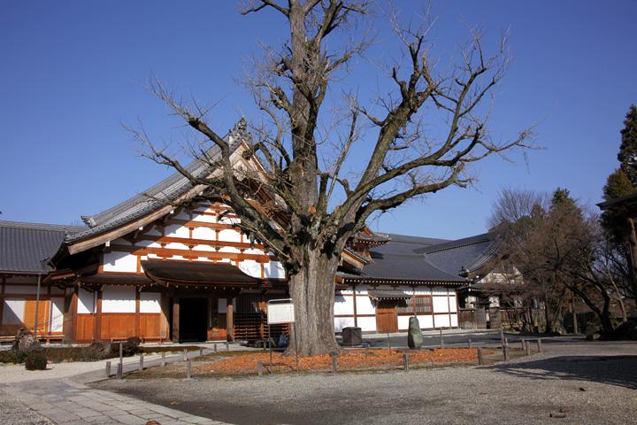 樹齢約700年のイチョウの木