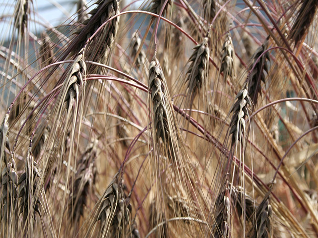 むらさき麦の穂