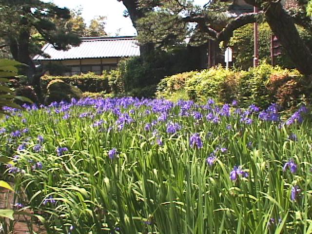 無量寿寺カキツバタ園