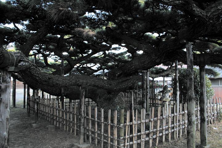 永安寺雲龍の松