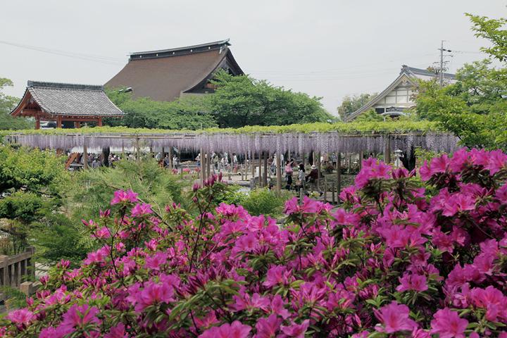 曼荼羅寺公園江南藤まつり