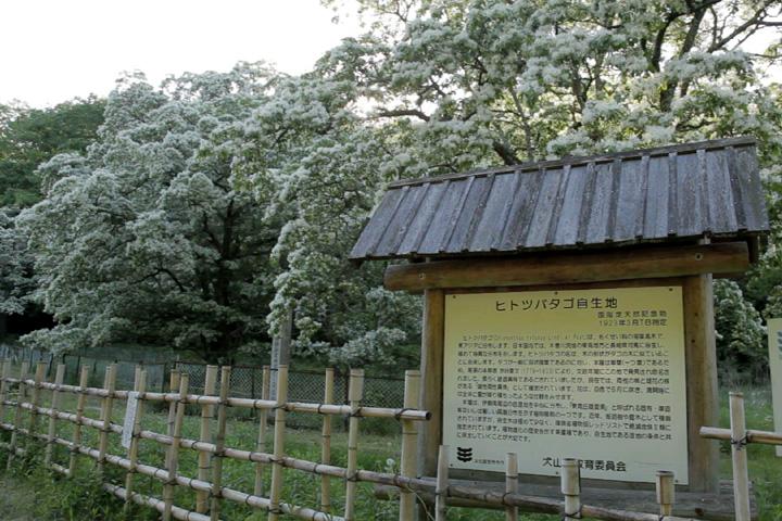ヒトツバタゴ自生地(犬山)