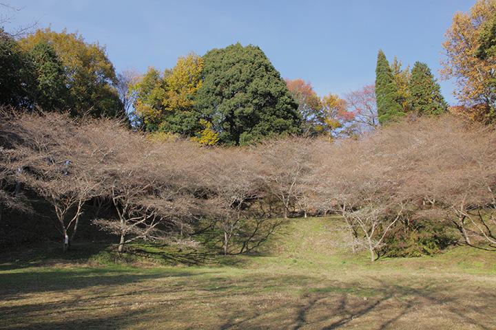 市場城址の四季桜