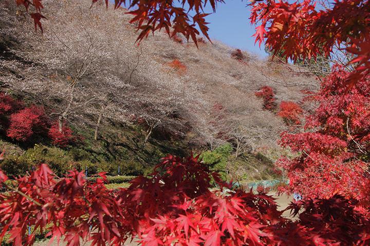 もみじと四季桜