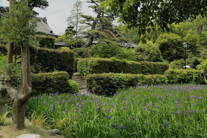 無量寿寺の「八橋かきつばた園」