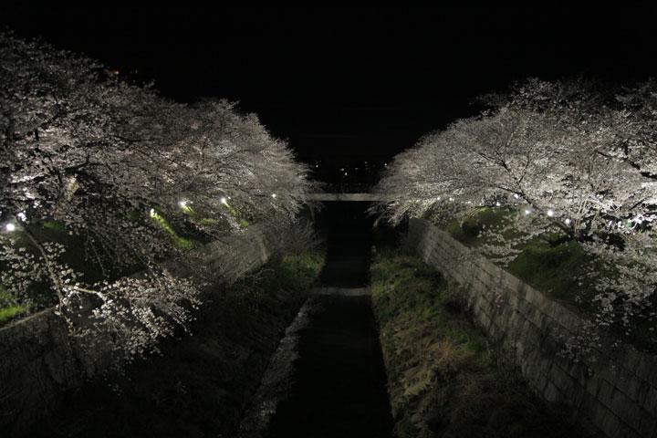 山崎川夜桜(名古屋市)