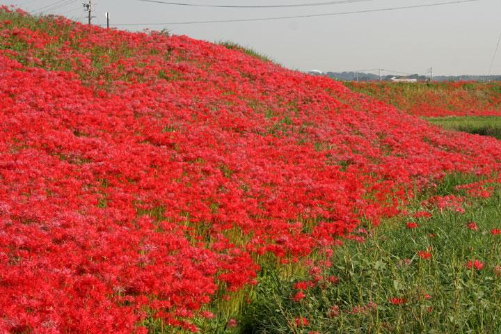 矢勝川の堤に咲く彼岸花