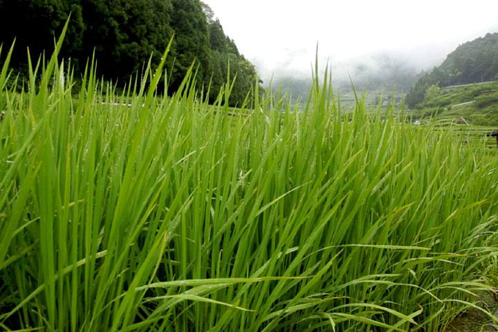 青々と生育する棚田の稲