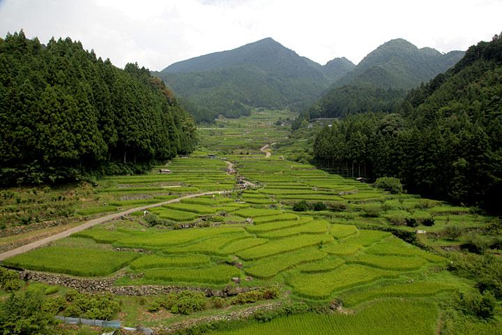 真夏の四谷千枚田