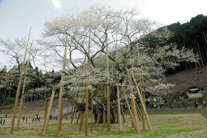 「日本三大桜」根尾谷薄墨桜