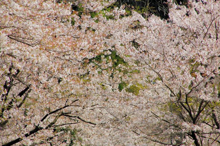 日当(ひなた)駅周辺の桜並木