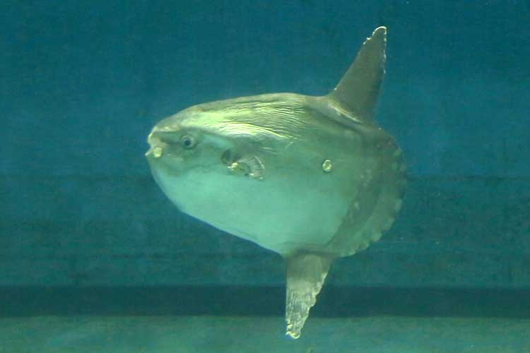 Ocean sunfish(Shima Marine Land aquarium)