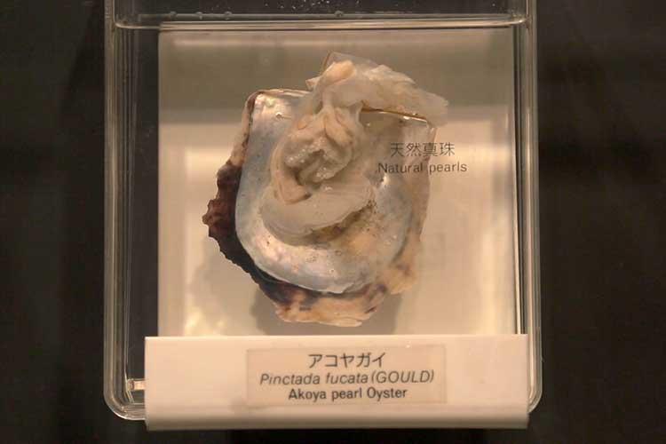 アコヤ貝(真珠博物館)