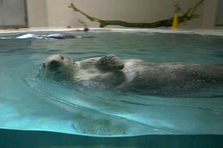 Sea otter(The sea of the polar regions)