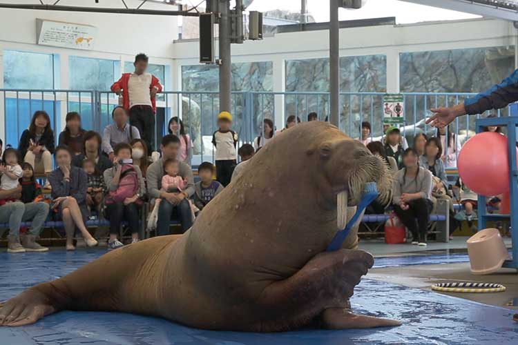 Show of a walrus