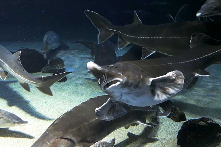 Species of Sturgeon