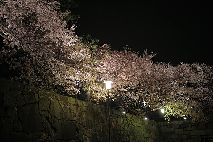 名古屋城正門付近のライトアップされた桜