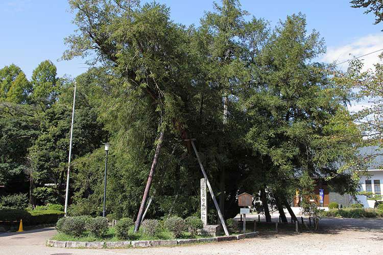 榧の木-天然記念物