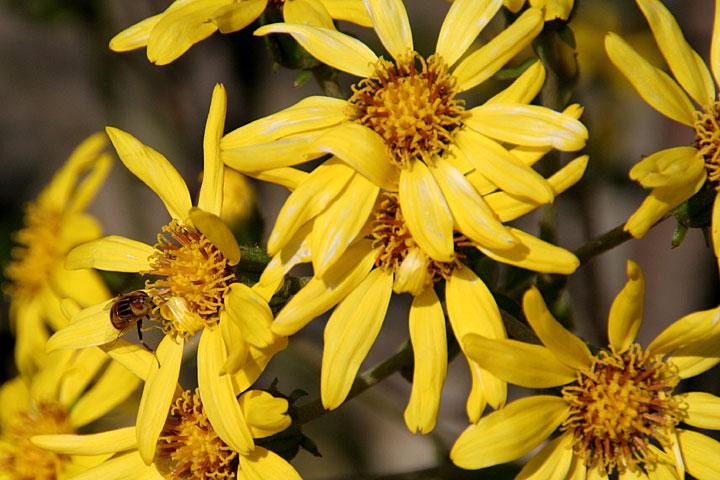 梅疑(うめもどき)の花