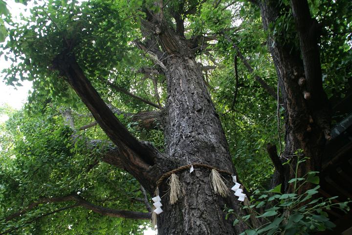 拝殿脇の二つの社の間に公孫樹の大木がある